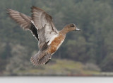 Female Widgeon in flight