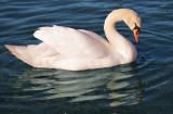 On Golden Swan