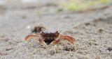 Brown Shore Crab