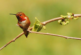 Male Rufus Hummingbird on guard in mulberry tree
