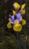 yellow and blue iris