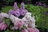 My neighbour gave me these lilac.