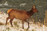 Elk Calf, Autumn Snow