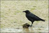 Corbeau de Tasmanie - Forest raven