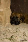 Slept puppy