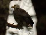 bald eagle merrim.tryngsboro ma.jpg