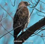 broad-winged hawk Wilmington ma.jpg