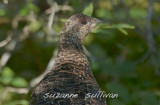 spruce grouse boot harbor maine