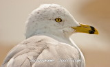 ring-billed_gulls