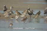 shorebird migration plum island