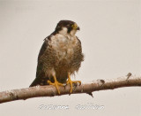peregrine falcon sandy point plum island