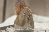 red squirrel wilmignton