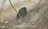 brown-headed cowbird wilmington