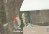 red-bellied woodpecker wilmington