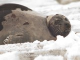 harp seal injured plum island