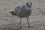 juv lesser black-backed gull plum island