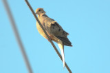 really interesting color juv mourning dove nahant