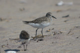 possible_whiterumpedxdunlin