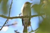 yellow-bellied flycatcher plum island