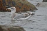 3rd yr herring gull barhead rocks plum island
