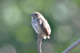 ops, song sparrow, where is your tail!