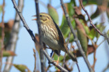 savanah sparrow, looking very light!