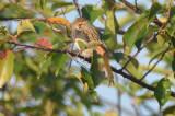 clay colored sparrow plum island