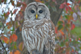 barred owl plum island