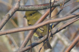 a late yellow bellied flycatcher plum island