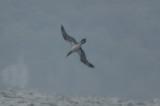 interesting gannet sandy point plum island