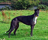 Peggy's Gallery - a little black greyhound's journey into the great wide open