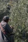 olives_2005