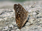 Unknown butterfly_2