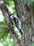 Neighborhood woodpecker