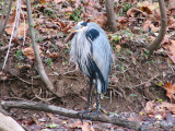 Is this a cold heron?