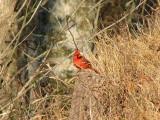 Northern Cardinal watching me