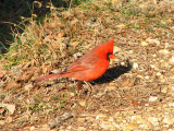 Northern Cardinal on the towpath