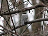 A Chickadee