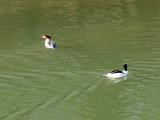 Common Merganser in the Potomac