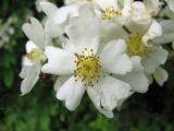 Rosa Multiflora closeup_1