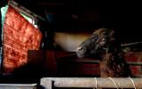 Sheep - Khujand