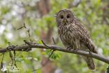 Adult Ural Owl