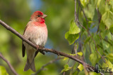 Adult male Common Rosefinch