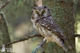 Adult Boreal Owl
