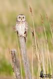 Adult Short-eared Owl