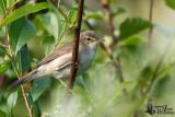 Adult Blyth's Reed Warbler