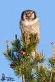 Adult Northern Hawk-Owl