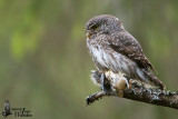 Adult male Eurasian Pygmy Owl with prey