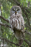 Adult male Great Grey Owl