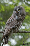 Adult male Great Grey Owl with vole